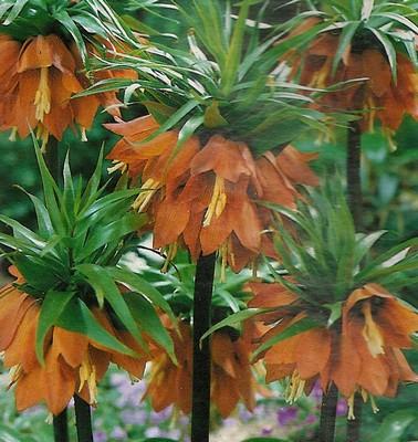Le beau jardin des astuces pour bien conserver et soigner for Soigner amaryllis
