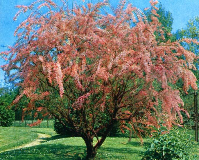Arbuste d ornement persistant