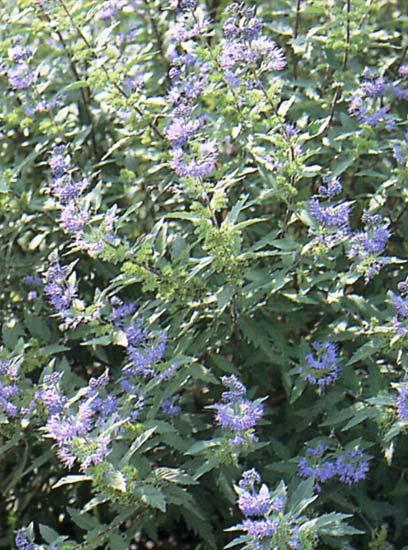 Arbuste ornement for Arbuste d ornement feuillage persistant