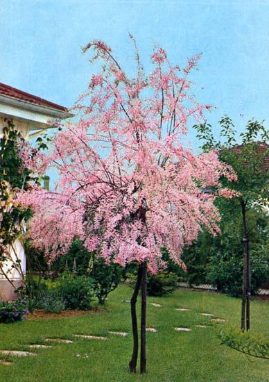 Photos arbres d ornement - Arbre d ornement feuillage persistant ...