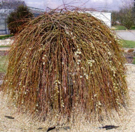 Le beau jardin des astuces pour bien conserver et soigner vos plantations - Arbres d ornement a feuillage persistant ...