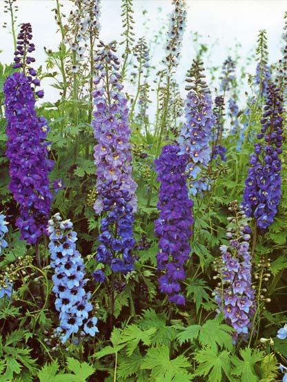 le beau jardin des astuces pour bien conserver et soigner On plantes vivaces hautes