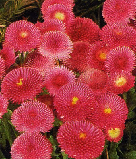 Les plantes bisannuelles for Conseil sur les plantes